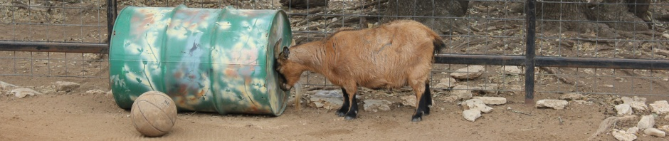 Goat pressing top of head against barrel.