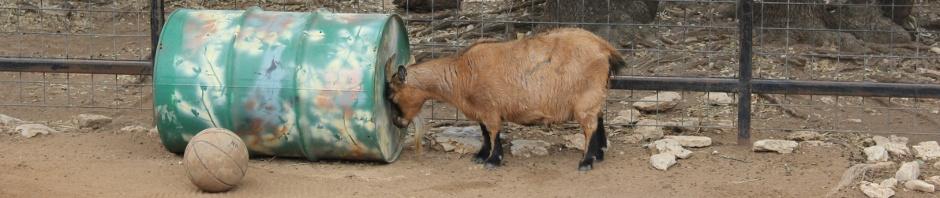 Goat pressing top of head against barrel.